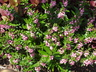 Angelonia angustifolia 'PAS933541' [sold as Serenita Pink (R)] (Serenita Group) - Angelonia