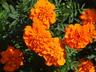 Tagetes patula 'Bonanza Deep Orange' - French Marigold