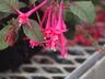 Fuchsia 'Eruption' - Fuchsia