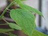 Salvia gesneriiflora 'Tequila' - Sage