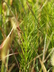 Asclepias verticillata - Whorled Milkweed