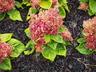 Celosia argentea 'Glow Pink' (Plumosa Group) - Cockscomb