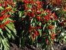 Capsicum annuum 'Nippon Taka' - Ornamental Pepper