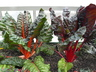 Beta vulgaris 'Bright Lights' (Cicla Group) - Swiss Chard