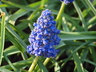 Muscari armeniacum 'Blue Spike' - Grape-Hyacinth