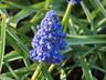 Muscari armeniacum 'Blue Spike' - Grape-Hyacinth