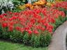 Antirrhinum majus 'Sonnet Orange Scarlet' - Snapdragon