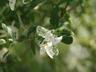 Salix integra 'Hakuro-nishiki' - Willow