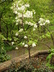 Cornus florida 'Eternal' - Flowering Dogwood