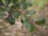 Fagus sylvatica 'Riversii' - European Beech