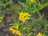 Tagetes lucida - Sweet Marigold