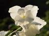 Gladiolus 'White Ice' - Gladiolus
