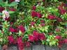 Celosia argentea 'Kelos Magenta' (Spicata Group) - Celosia