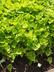 Ipomoea batatas 'NCORNSP-019SCSHLM' [sold as Sweetheart Lime] (Sweet Caroline Group) - Sweet-Potato