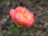 Paeonia 'Coral Charm' - Hybrid Herbaceous Peony