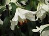Lilium 'Casa Blanca' - Oriental Hybrid Lily