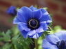 Anemone coronaria 'PAS1853' [sold as Lavender Shades] (Mona Lisa Group) - Poppy-Flowered Anemone