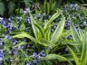 Dracaena fragrans 'Lemon Lime' - Dracaena Corn-Plant