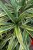 Dracaena fragrans 'Warneckii' - Dracaena Corn-Plant