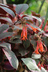 Fuchsia 'John Ridding' [sold as Firecracker] - Variegated Fuchsia