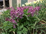 Corydalis solida 'Purple Bird' - Fumewort
