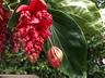 Medinilla 'Royal Intenz' - Hybrid Rose-Grape
