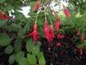Fuchsia 'Rufus' - Fuchsia
