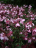 Gaura lindheimeri 'DGAUR137' [sold as Karalee Petite Pink Improved (R)] - White Gaura