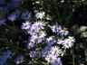 Eurybia x herveyi 'Twilight' - Hybrid Bigleaf Aster
