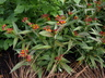 Asclepias curassavica (Silky Group) - Blood-Flower