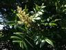 Rhus copallinum - Shining Sumac