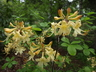 Rhododendron atlanticum 'Yellow Delight' - Coast Azalea