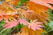 Acer japonicum 'Aconitifolium' - Fullmoon Maple