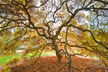Acer palmatum 'Ornatum' (Dissectum Group) - Threadleaf Japanese Maple