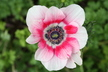 Anemone coronaria mixed cultivars [sold as Mona Lisa (TM)] - Poppy-Flowered Anemone