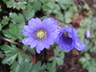 Anemone blanda 'Blue Shades' - Greek Anemone
