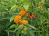 Asclepias tuberosa - Butterfly-Weed