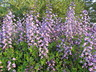 Baptisia 'Purple Smoke' - Wild-Indigo