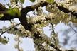 Cercis canadensis 'Alba' - Eastern Redbud