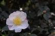 Camellia sasanqua 'Narumigata' - Camellia