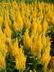 Celosia argentea 'Century Yellow' (Plumosa Group) - Celosia