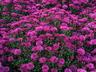 Chrysanthemum x morifolium 'Bold Vanessa' - Decorative Mum