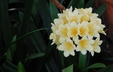 Clivia miniata (Citrina Group) - Yellow Clivia