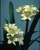 Clivia miniata 'Sir John Thouron' - Yellow Clivia