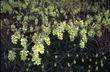 Corylopsis glabrescens 'Longwood Chimes' - Fragrant Winter-Hazel