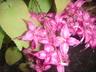 Epimedium diphyllum - Epimedium