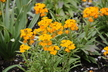 Erysimum 'PAS415015' [sold as Citrona Orange (R)] (Citrona Group) - Wall-Flower