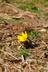 Eranthis hyemalis (Cilicica Group) - Winter-Aconite