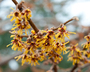 Hamamelis vernalis - Vernal Witch-Hazel