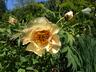 Paeonia 'Amber Moon' - Hybrid Tree Peony